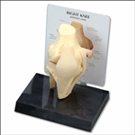 Basic Knee Model (Rigid)