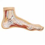 Deluxe Foot Models